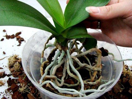 как ухаживать за орхидеей в горшке купленной