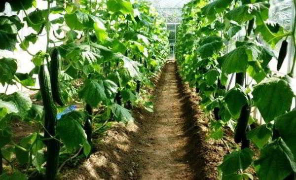 ошибки при выращивании огурцов в теплице