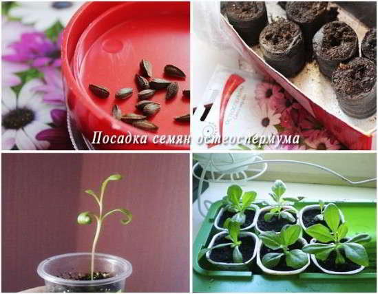 остеоспермум из семян