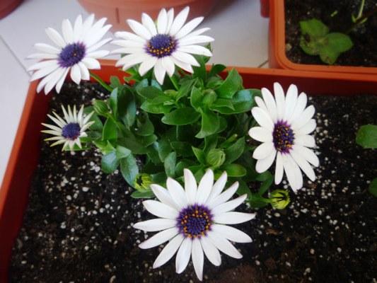 остеоспермум выращивание из семян когда сажать