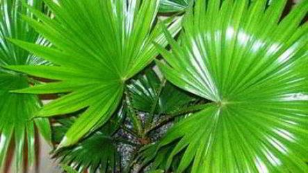 Пальмы: правильный уход в домашних условиях