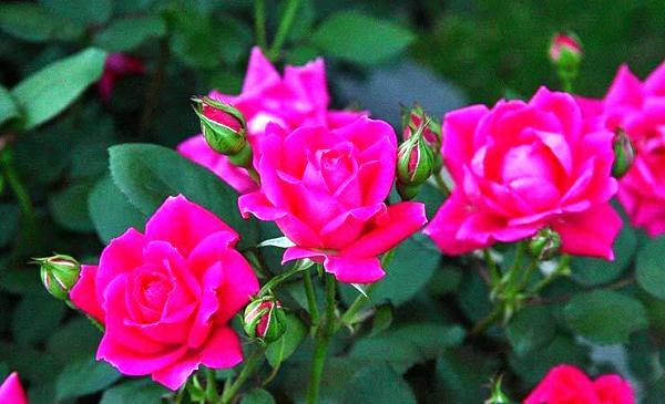 название неприхотливых многолетних цветов