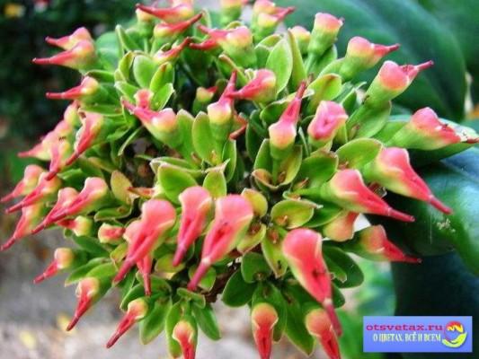 педилантус уход в домашних условиях как цветет