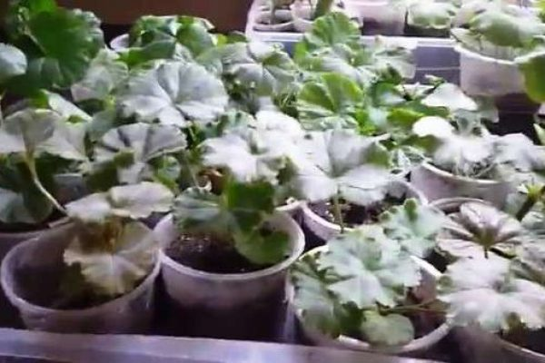 рассада пеларгонии из семян