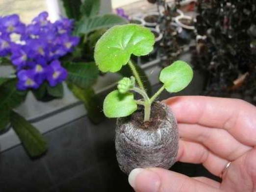 пеларгония из семян в домашних условиях в торфяных таблетках