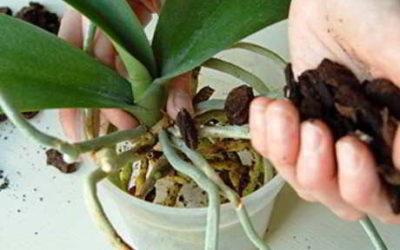 Орхидея: пересадка в домашних условиях