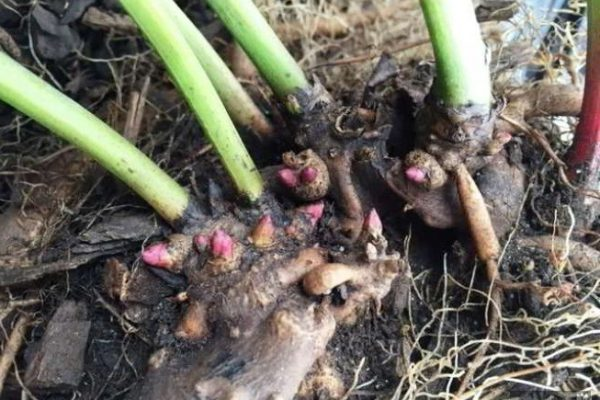 пионы пересадка осенью повреждены корни