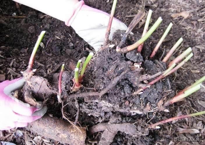 пересадка пионов когда лучше осенью или весной