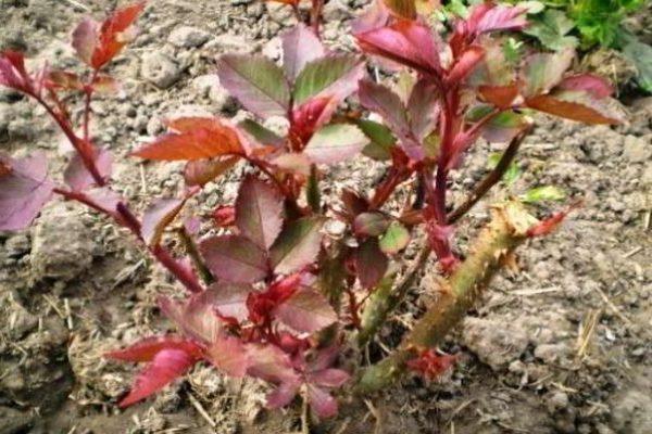 пересадка роз осенью на другое место