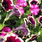 цветы петуния фото посадка