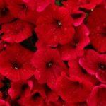 петуния белая фото цветов