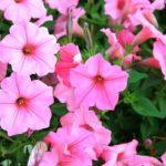 цветы петуния фото цветов
