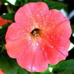 онлайн дача цветы фото петунья