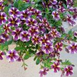 петуния ампельная фото цветов