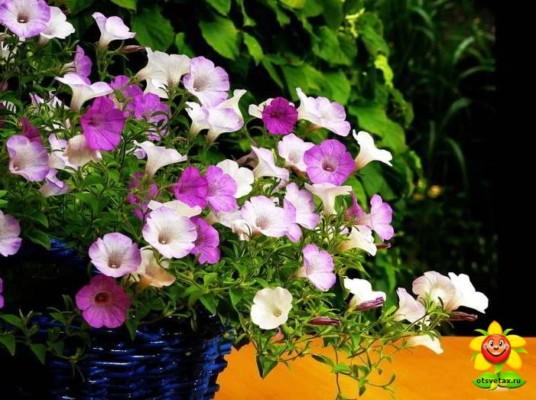 петуния выращивание и уход в домашних условиях