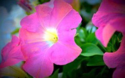 Выращивание и уход за петунией в домашних условиях
