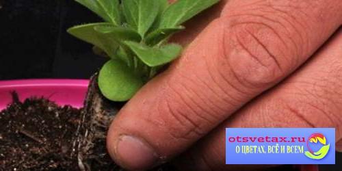 петуния выращивание из семян когда сажать отзывы