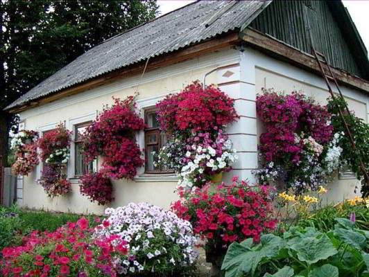 петуньи цветы