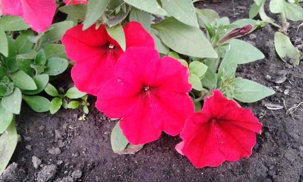 уход и выращивание петуний