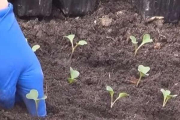цветная капуста выращивание и уход в открытом грунте в сибири