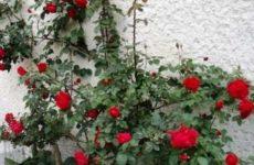 Зимостойкие сорта цветущих плетистых роз