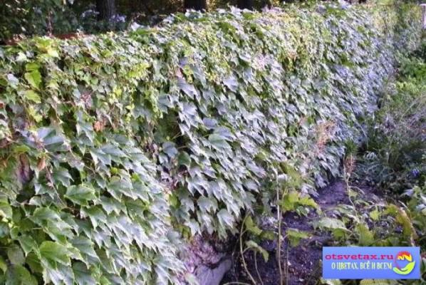 вьющиеся растения для забора быстрорастущие плющ