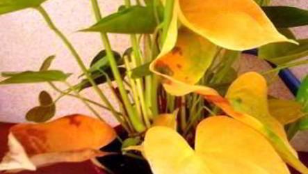 Почему у антуриума желтеют и сохнут листья что делать, как решить проблему