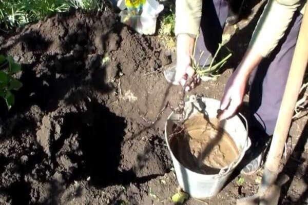 правильная посадка роз с открытой корневой системой осенью