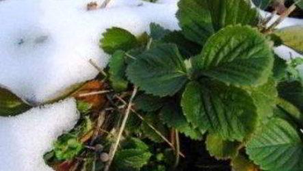 Подготовка клубники к зиме: уход, подкормка, укрытие
