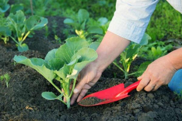 цветная капуста выращивание и уход в открытом грунте подкормка