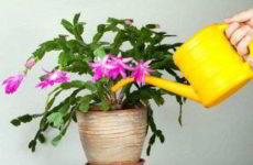Как и чем поливать декабрист во время бутонизации, цветения, круглый год