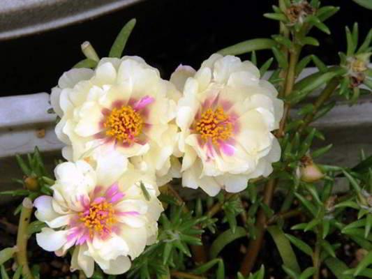 цветы портулак посадка и уход фото