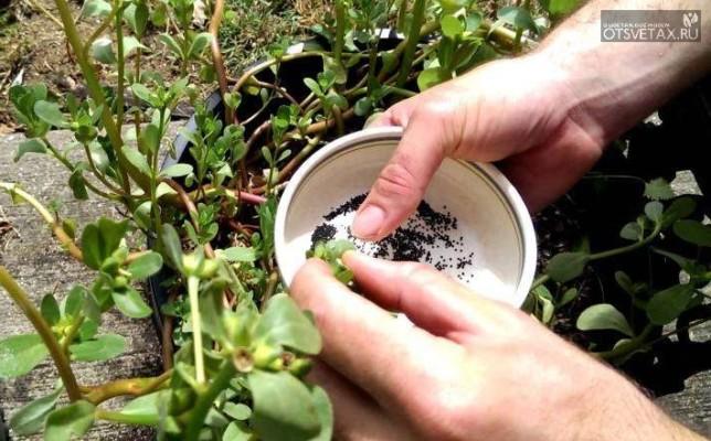 портулак выращивание из семян когда сажать и пикировать