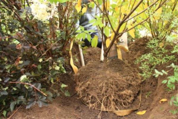 гортензия садовая посадка осенью