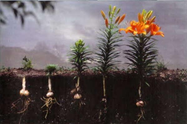 посадка лилий осенью когда и как посадить