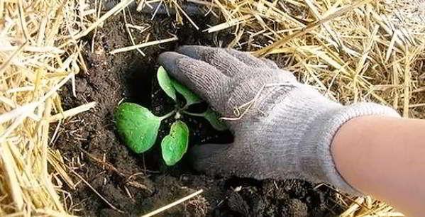 выращивание баклажан в открытом грунте