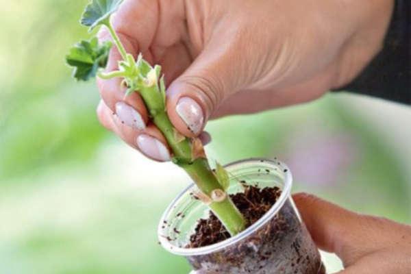 размножение герани черенками осенью в домашних условиях