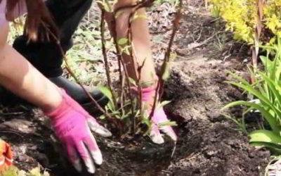 Гортензия: посадка осенью в открытый грунт