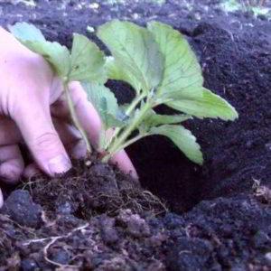 Посадка клубники: когда и как посадить осенью в открытый грунт