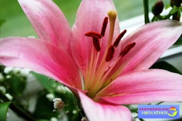 посадка лилий весной в грунт когда