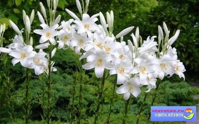 посадка лилий весной в грунт в сибири