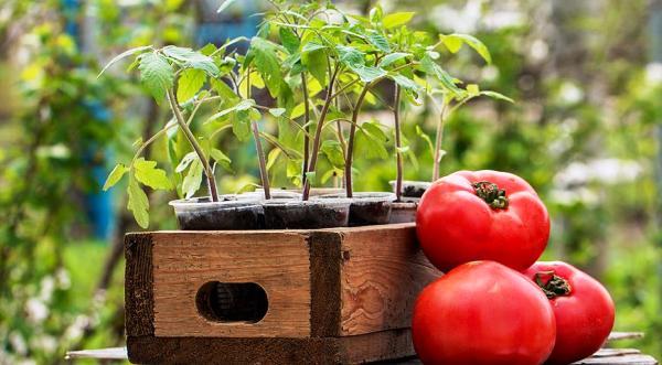 посадка помидор на рассаду в 2018 году