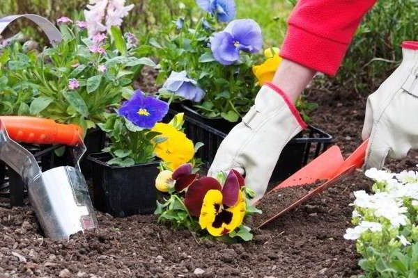 виола цветы выращивание из семян осенний посев