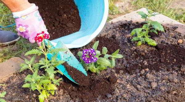 вербена гибридная выращивание из семян