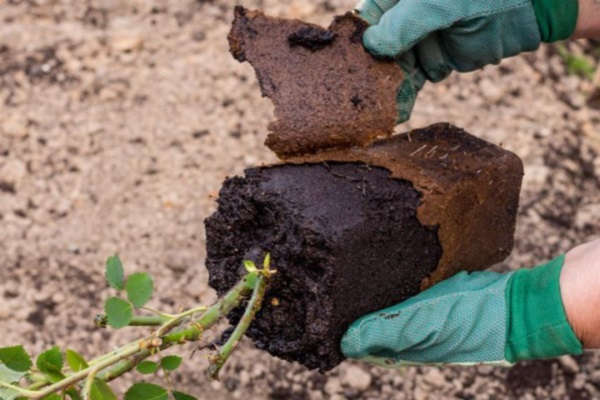 правила посадки роз с закрытой корневой системой осенью