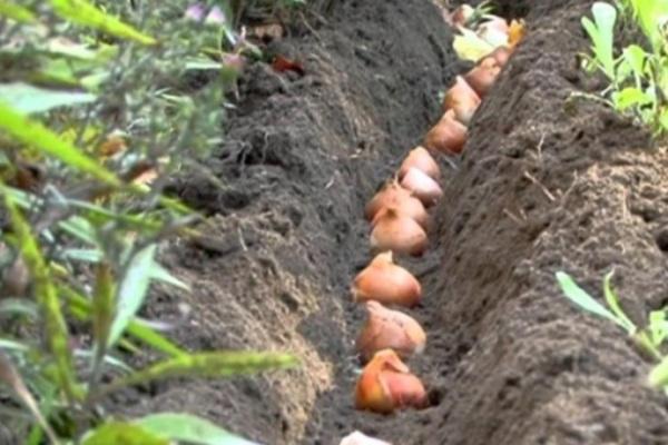 посадка тюльпанов осенью сроки правила рекомендации