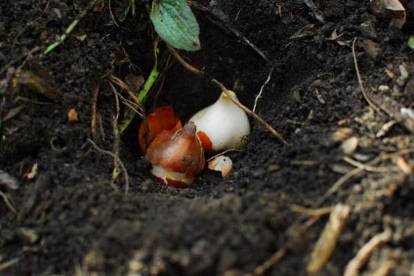 сроки посадки луковиц тюльпанов осенью