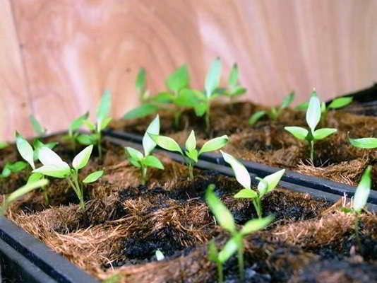 посев перца на рассаду по лунному календарю в 2018 году