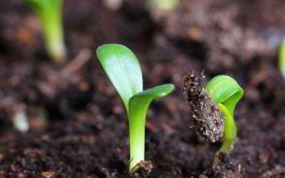 Петуния: посев семян на рассаду или 6 хитростей посевного процесса
