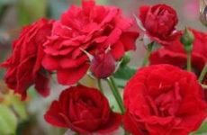 Укрытие роз на зиму для разных видов в регионах